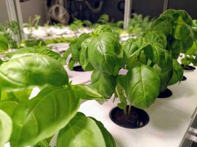 Pilotanlage Vertical Farming mit Basilikumpflanzen